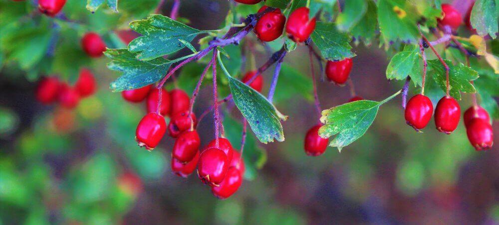 Cranberry: O novo suplemento alimentar da Eleve Life