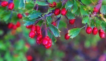 frutos de cranberry